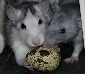 Osterfreuden - Ratten mit Wachtelei