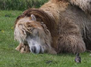 Schlafendes Kamel