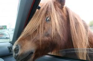 Pferdchen, interessiert am Auto und an den Menschen im Auto