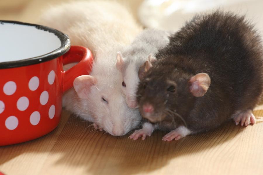 f r a taxa die keine ratten halten darf jetzt erst recht. Black Bedroom Furniture Sets. Home Design Ideas