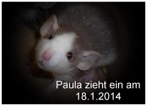 Ratte Paula