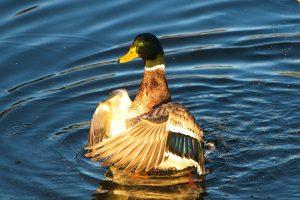 Die goldene Gans ist eine Ente