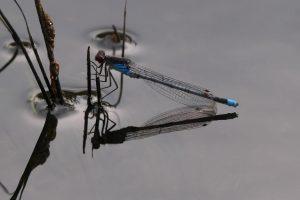 Libelle und ihr Spiegelbild