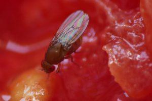 Fruchtfliege. schlillernde Flügel