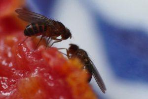 Fruchtfliegen im Gespräch