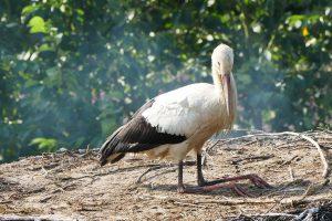 Storch im Nest - knieend