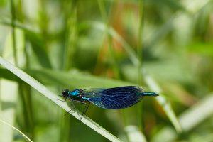 Libelle - blau