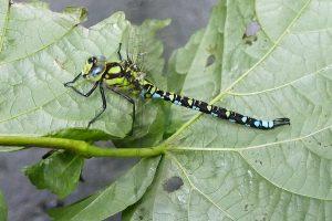 Libelle-Flügellahm