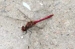Libelle-rot