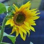 Sonnenblume im Herbst in der Stadt