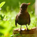 Blackbird - women in brown - Amsel
